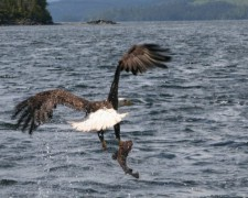 Fish Caught by Eagle